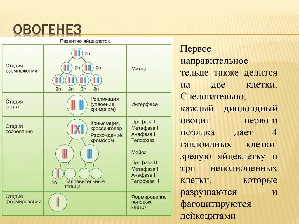 овоцит