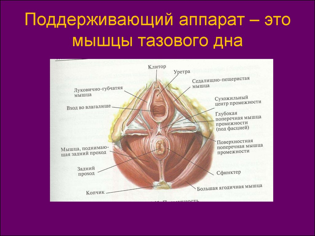 Anatomy of labia majora
