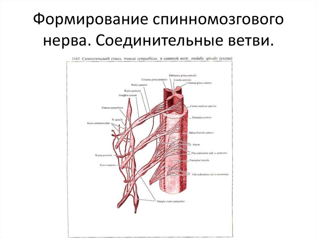 Словарь анатомических терминов на латыни m - сайт