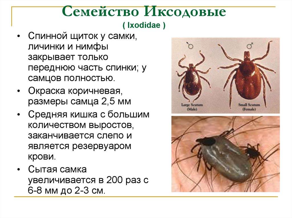 насекомые паразиты человека доклад