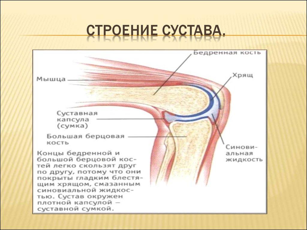 анатомия коленного сустава картинки тра