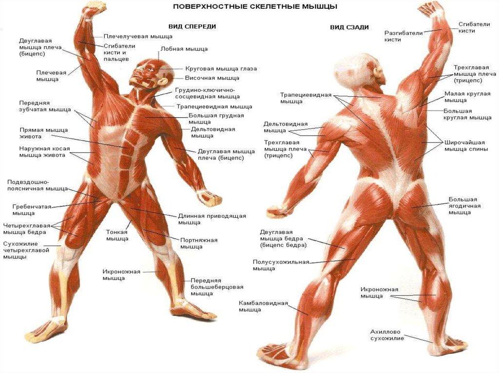 Часть мышцы в домашних условиях