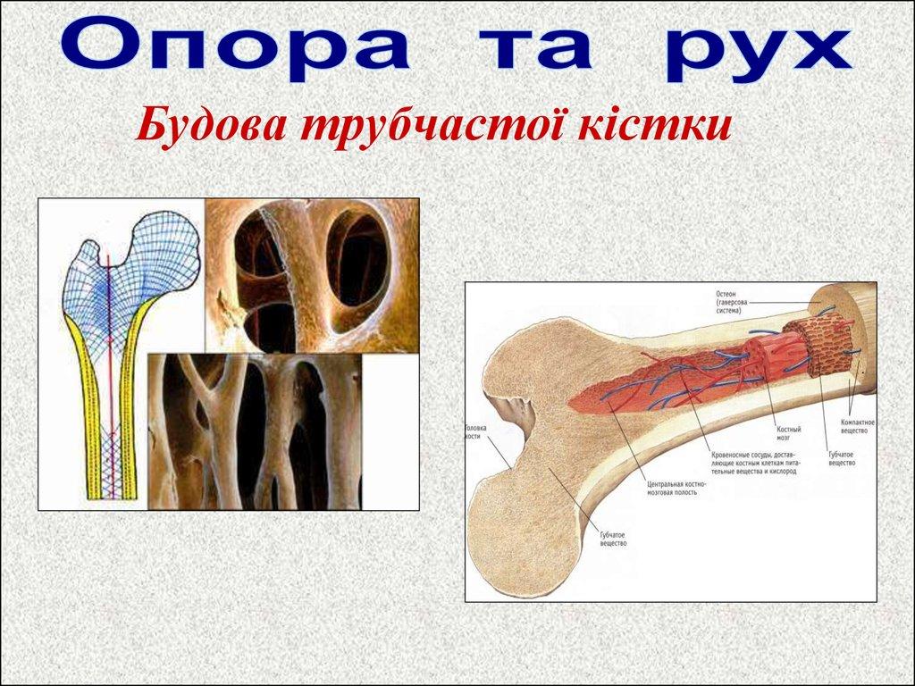 будови людини у фото на вікіпедії