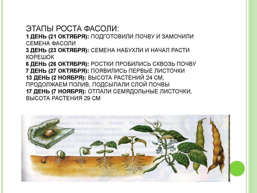 Выращивание фасоли исследовательская работа 17