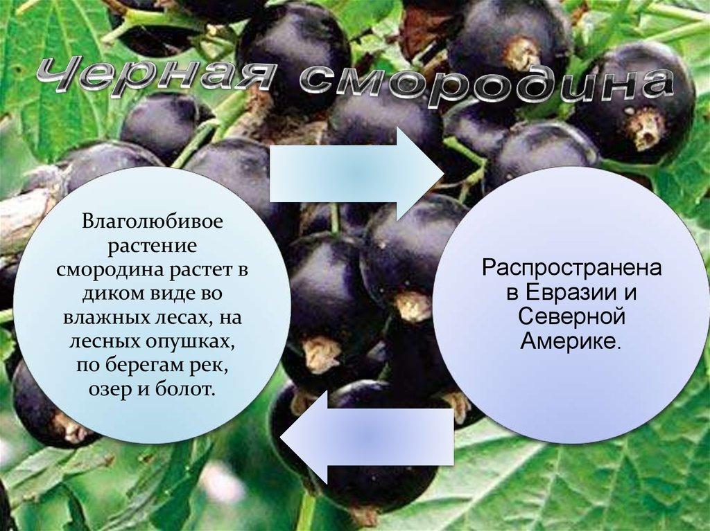 Черная смородина - online presentation