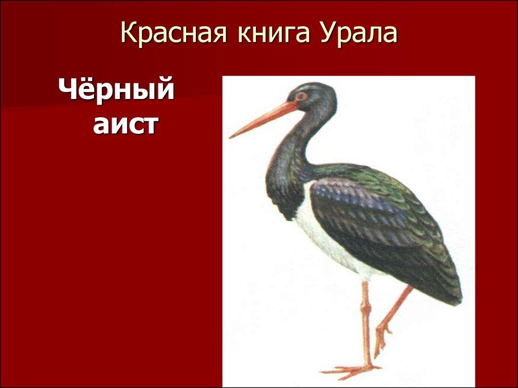 Почему черный аист занесен в красную книгу