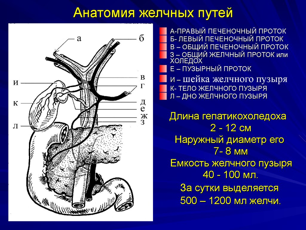 Anatomy liver gallbladder