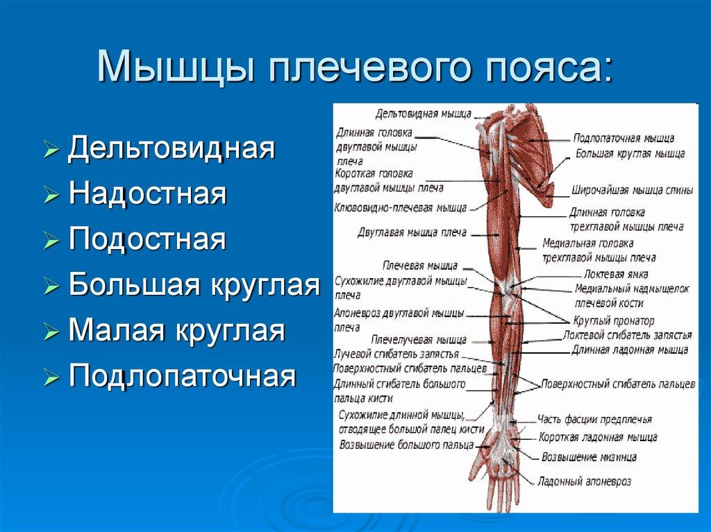 Плечевые мышцы рисунок