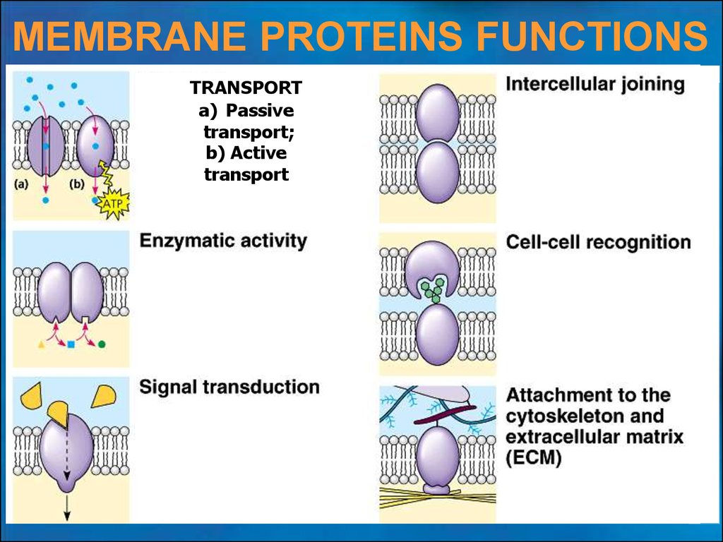 the structure and functions of biological membranes After genetic material, membranes are arguably the most important structures in life, involved in myriad vital functions, many of which are often.