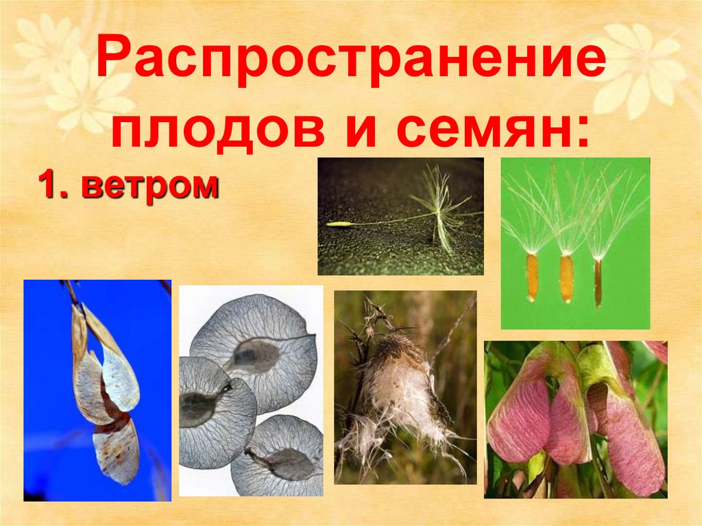 Спирея посадка и уход, сорта, размножение, обрезка фото