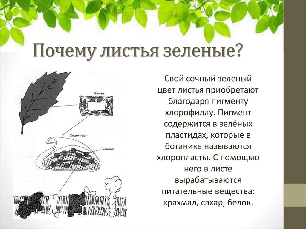 почему листья зеленые презентация