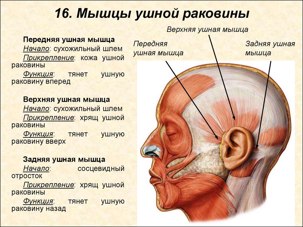 Шишка за ухом на кости, болит при нажатии