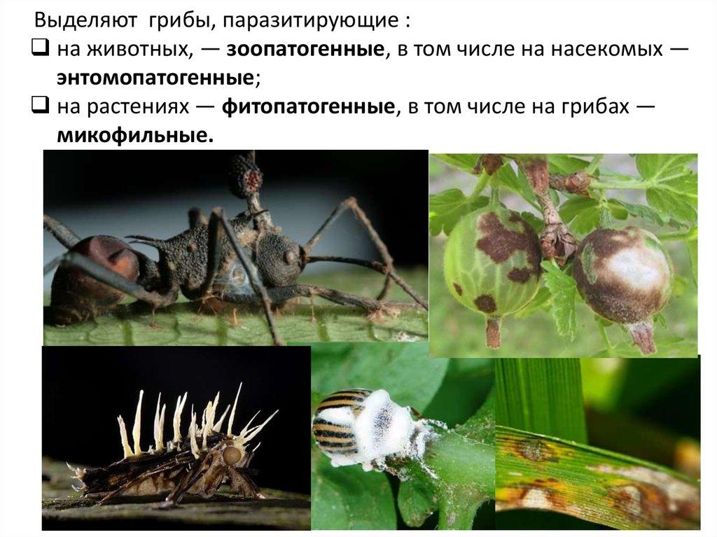 грибы паразиты в человеке