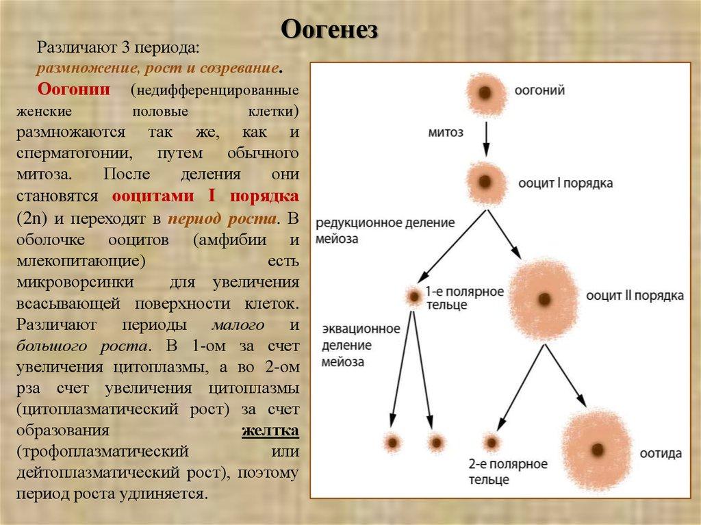 Ооцит