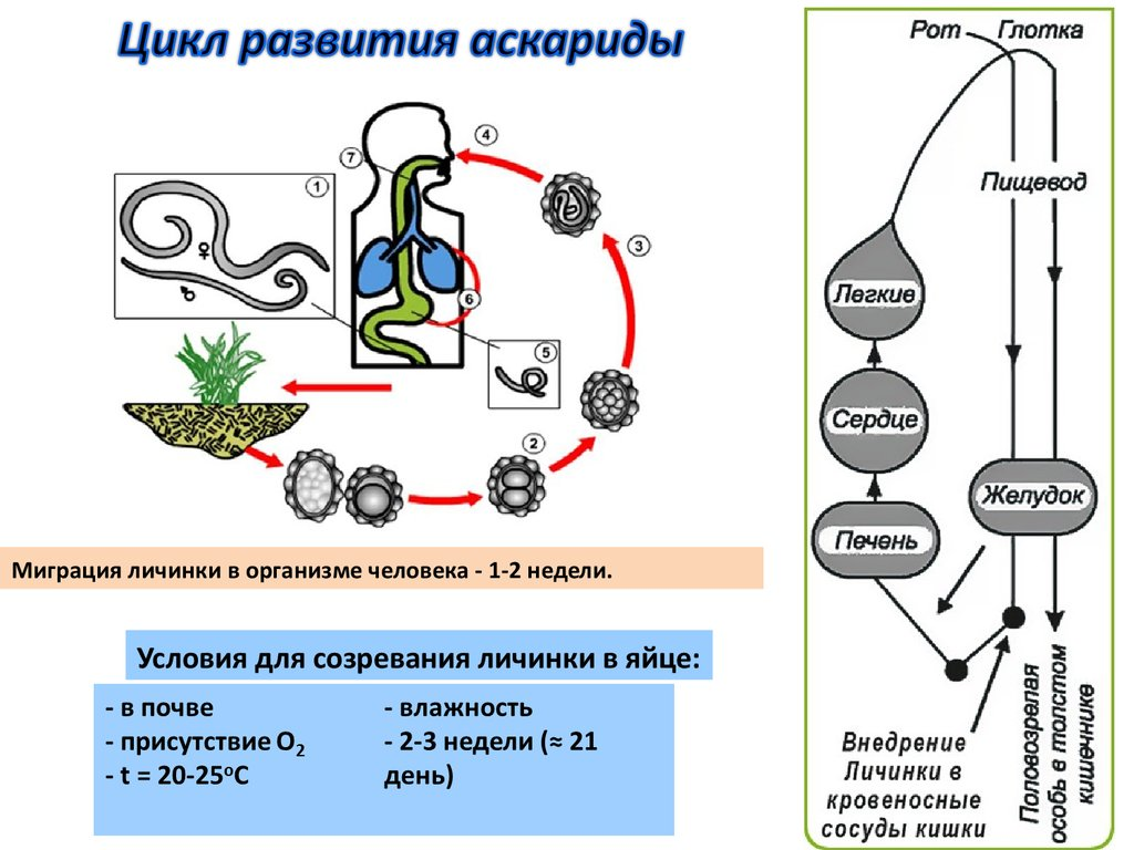 плоские черви возбудители заболеваний человека и животных