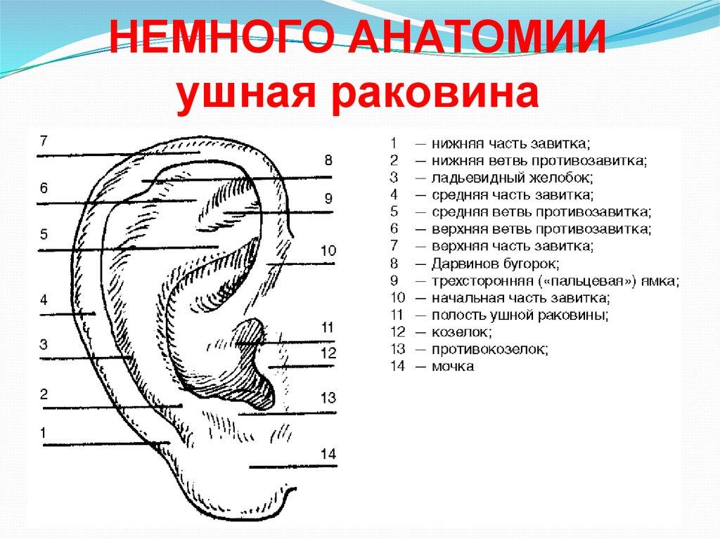 чем образована ушная раковина у сов
