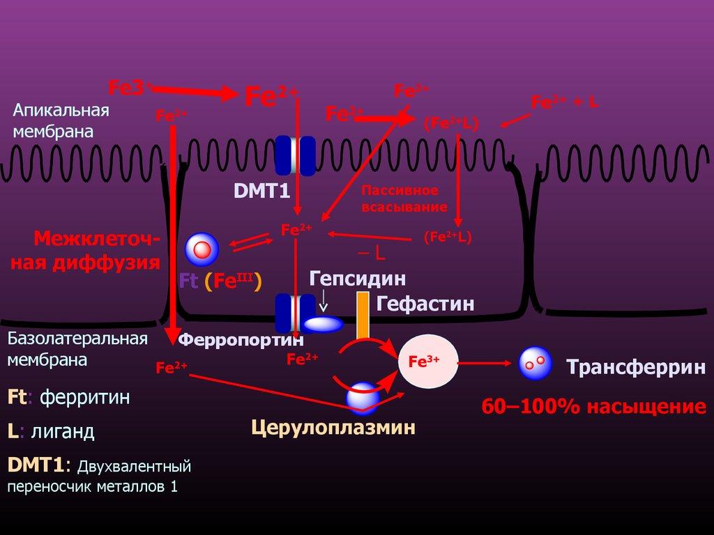 Трансферрин