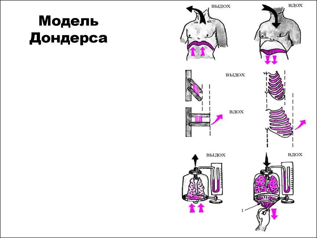 схема газообмена по фазам дыхания