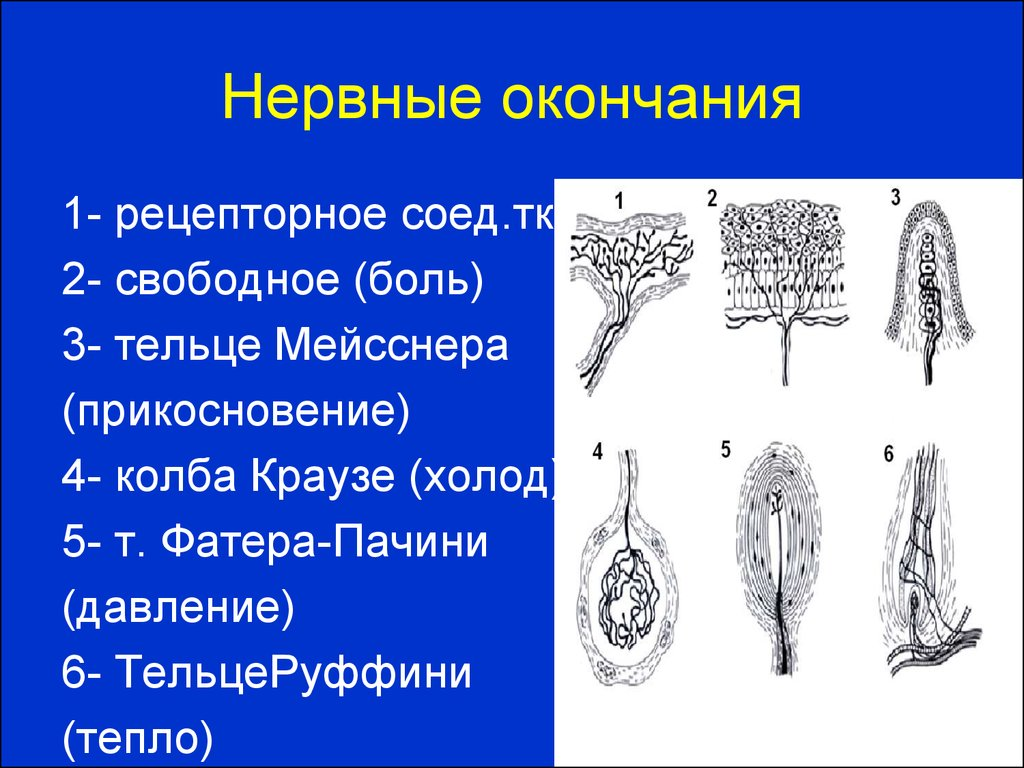 Схема нервных окончаний человека