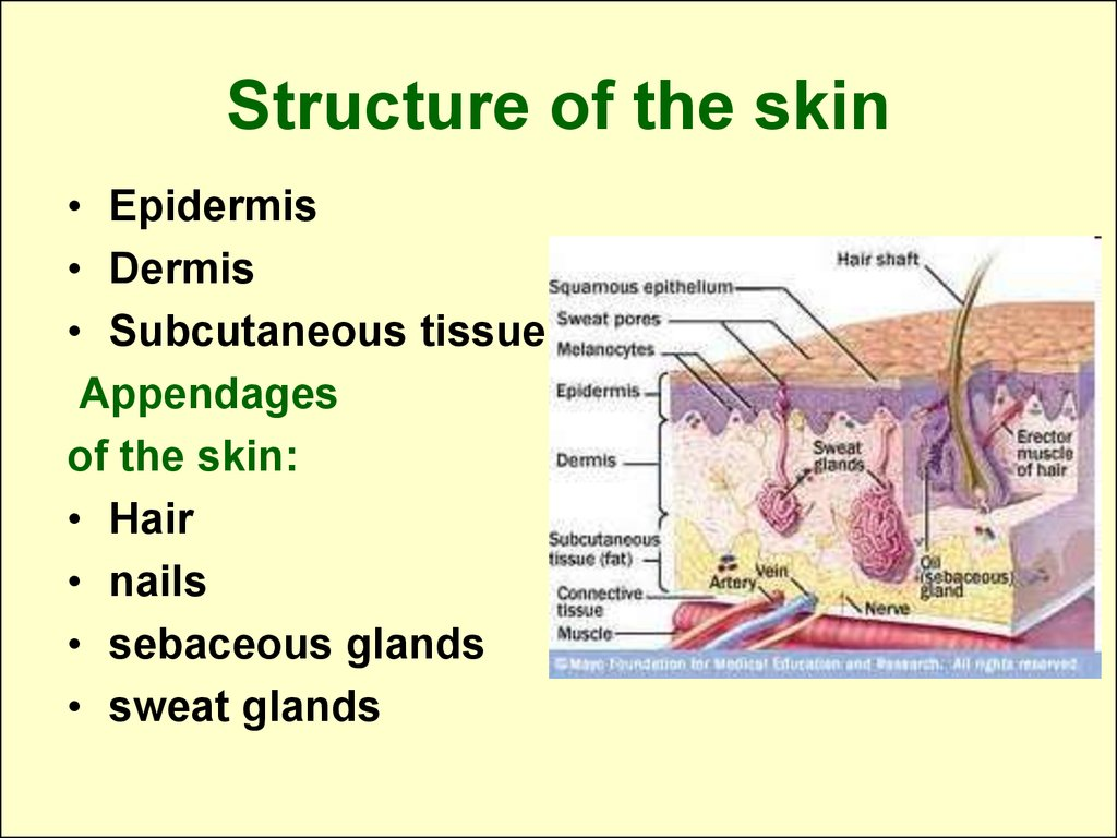 Structure and functions of the skin