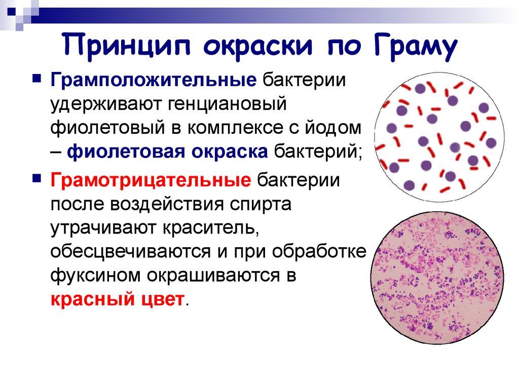 Грамположительные и грамотрицательные бактерии окрашивание
