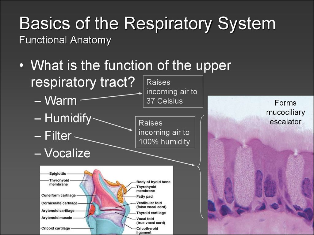 Anatomy of the respiratory tract