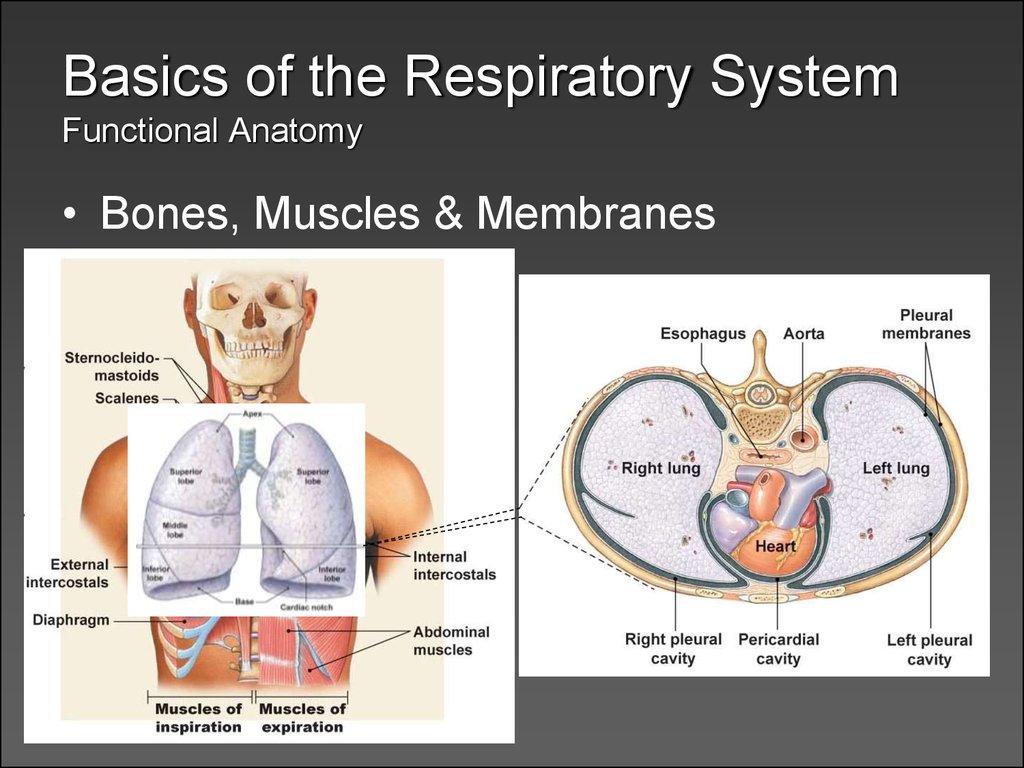 Respiratoryanatomy Power Point: презентация онлайн