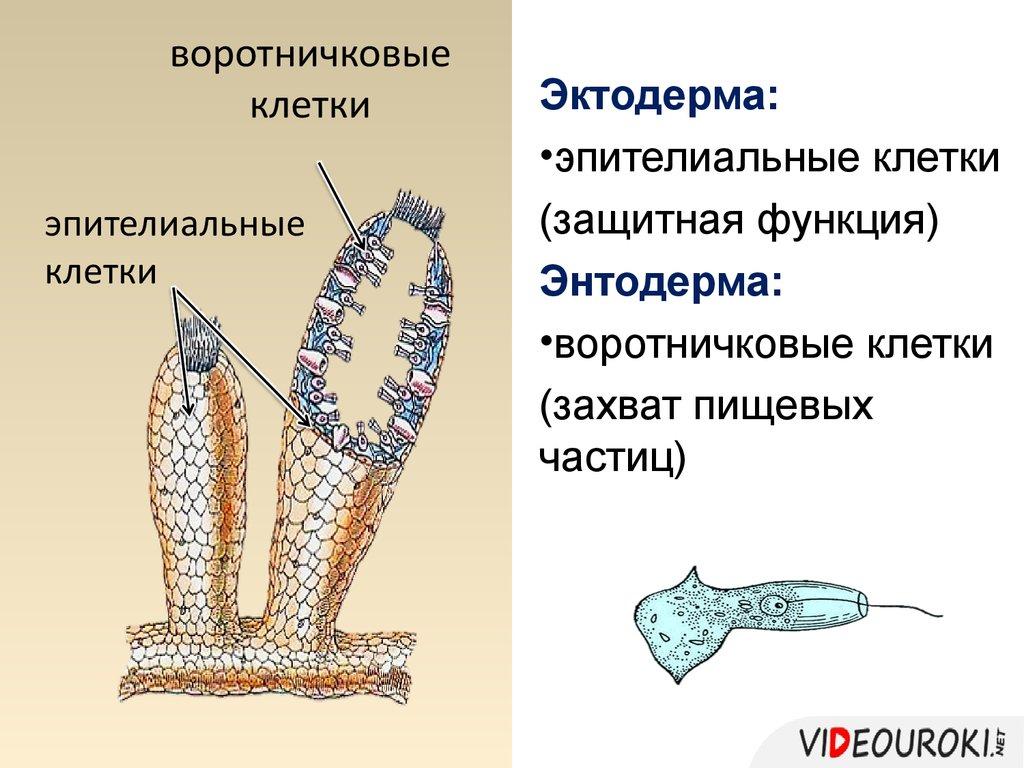 Эктодерма