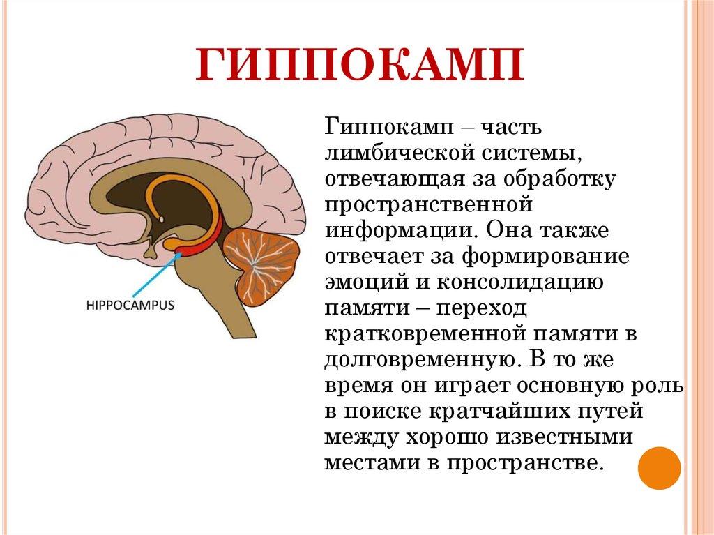 Human Brain Anatomy Hippocampus Digitalspacefo