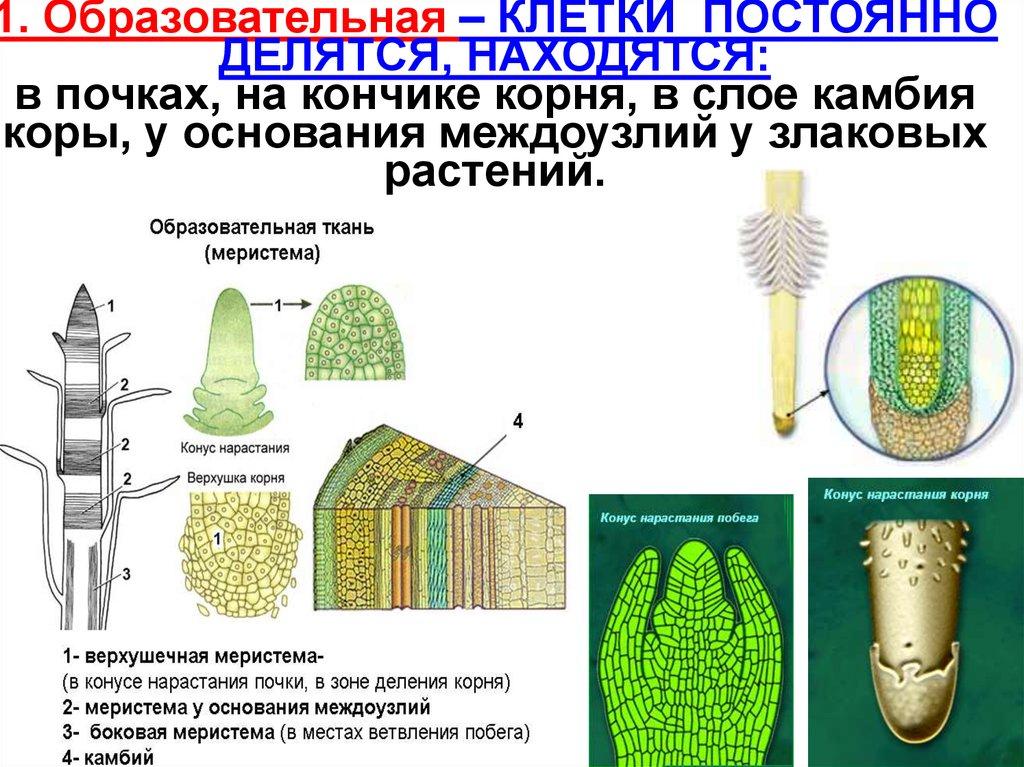 Где в растении находится образовательная ткань