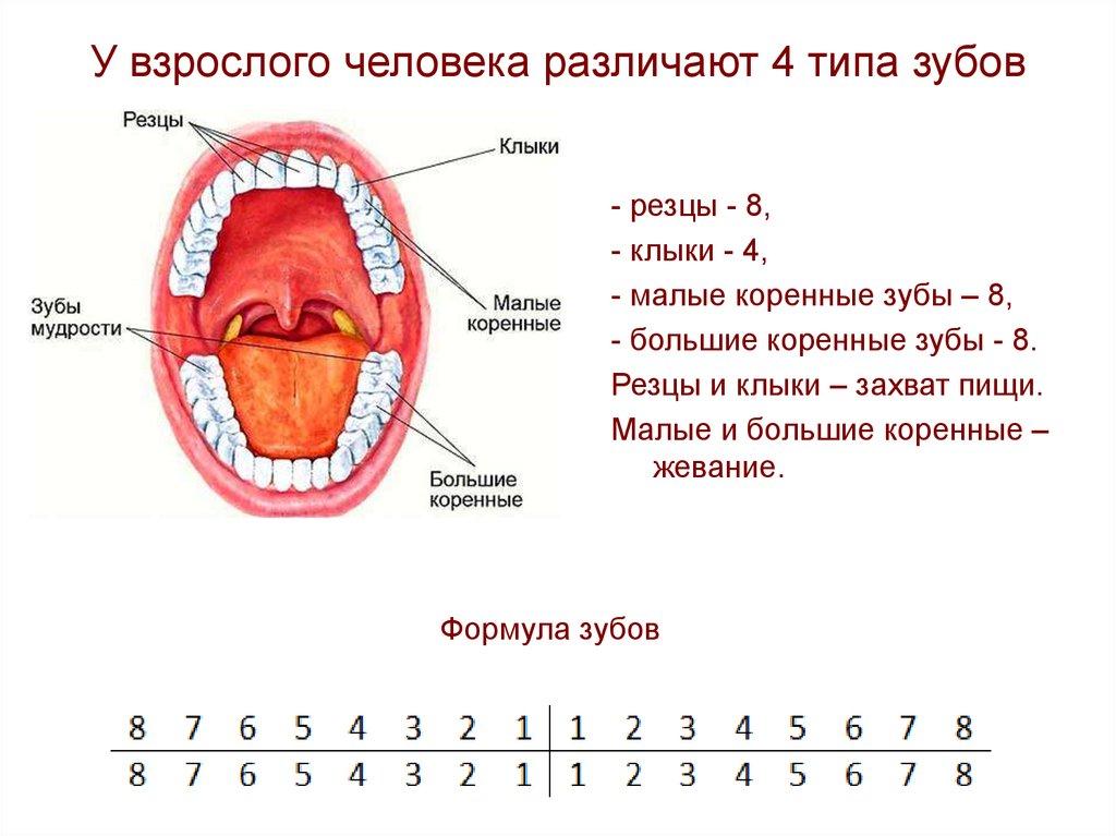 Системы нумерации зубов в стоматологии