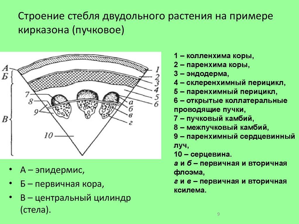 Анатомическое строение стебля двудольного схема