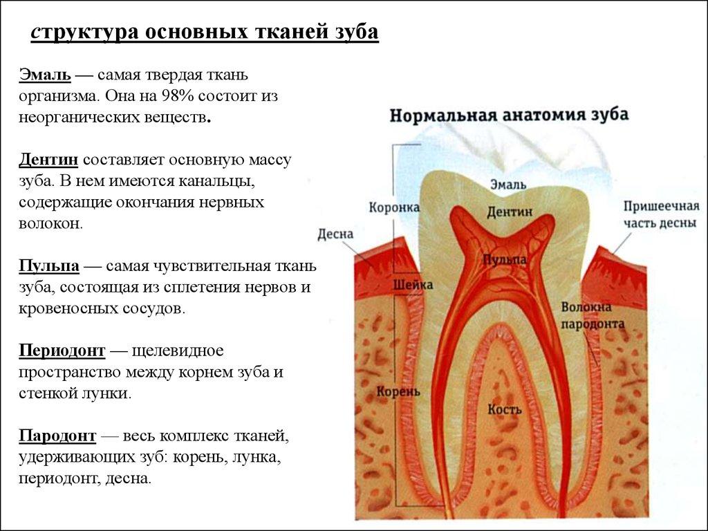 новости Итоги строение тканей зуба гистология стоимость