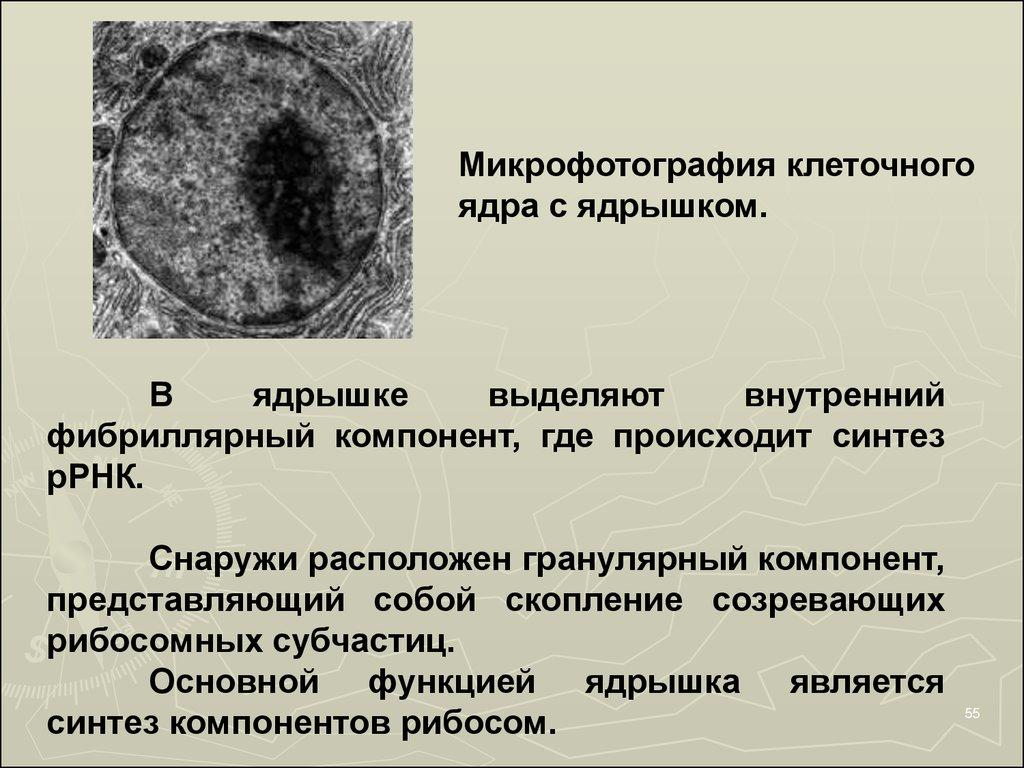 схема строения клеточного ядра