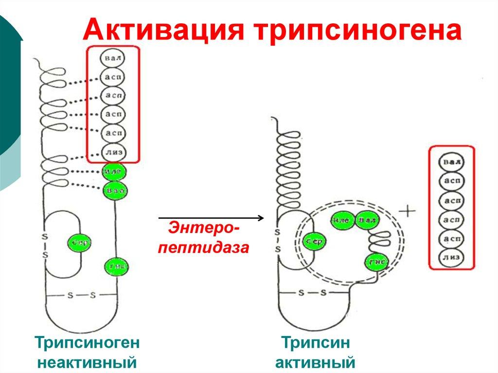 Трипсиноген