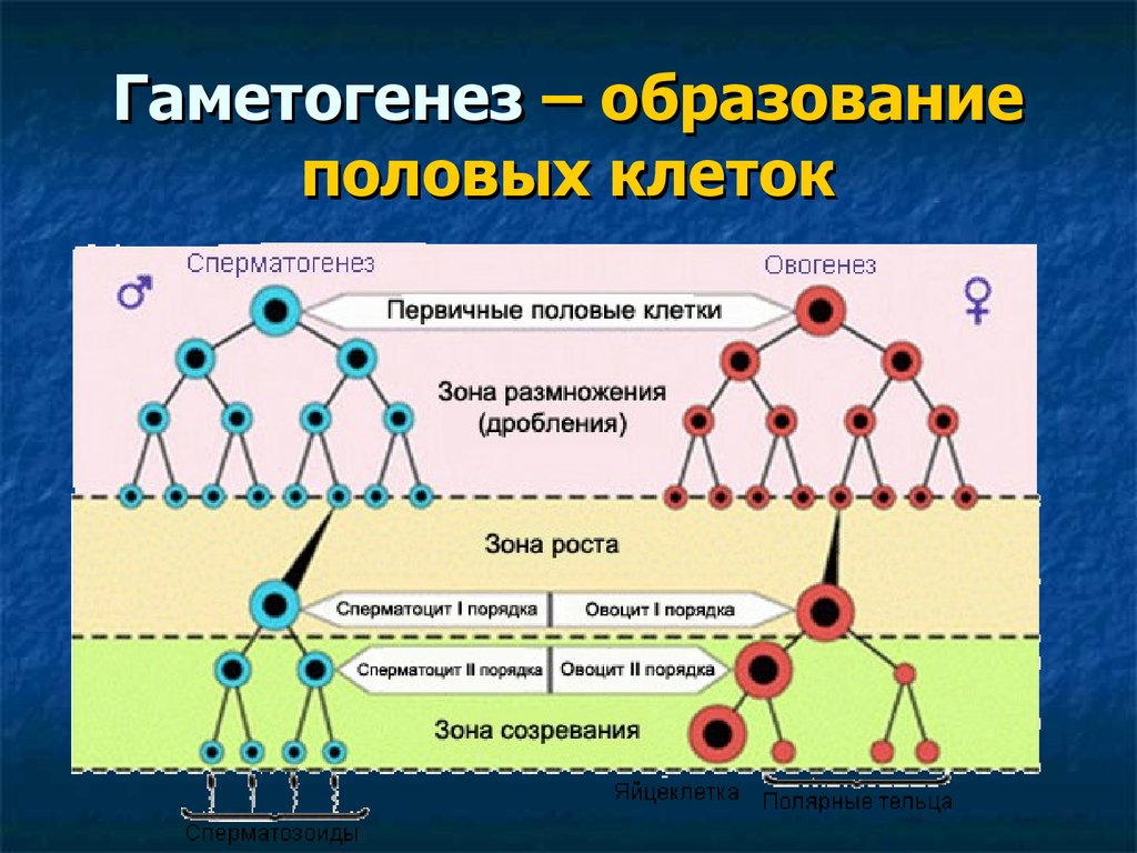 spermatogenez-ovogenez-gametogenez-meyoz-foto-kartinki