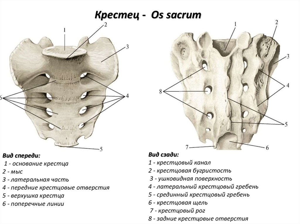 Sacrum Anatomy Pictures 6885353 Follow4morefo