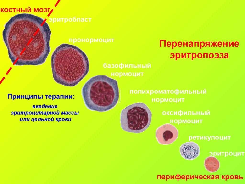 Нормоцит