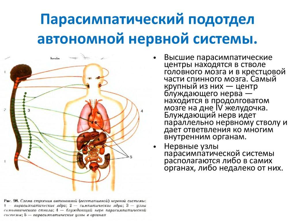 Где находятся центры парасимпатической нервной системы