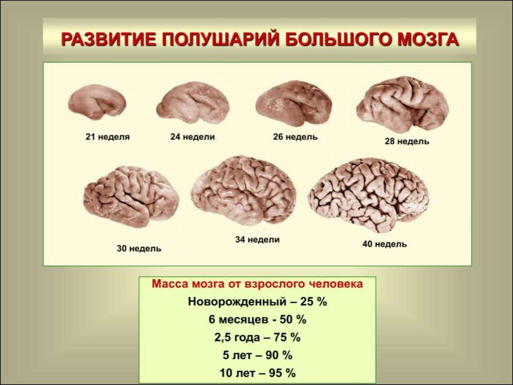 шишковидная железа головного мозга фото