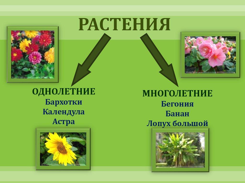 презентация растение кипрей
