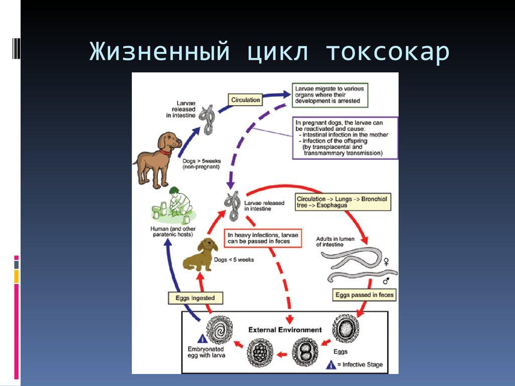 жизненный цикл паразитов в человеке