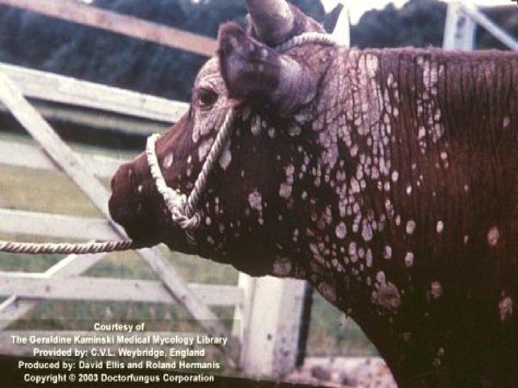 Дерматомікози у тварин фото фото 114-313