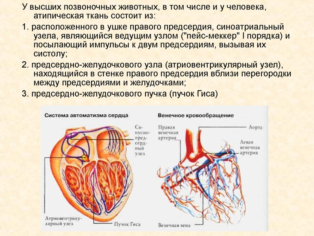 С чем связано учащенное сердцебиение