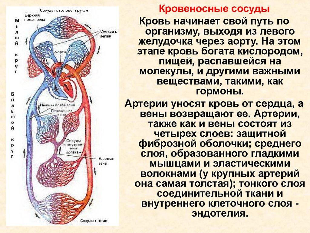 сердце в разрезе с сосудами и клапанами схема