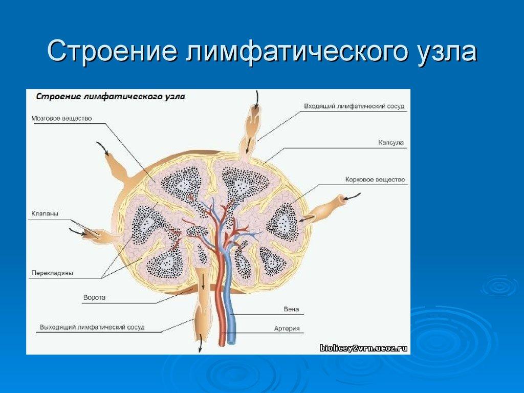 Лимфатические узлы на рисунки