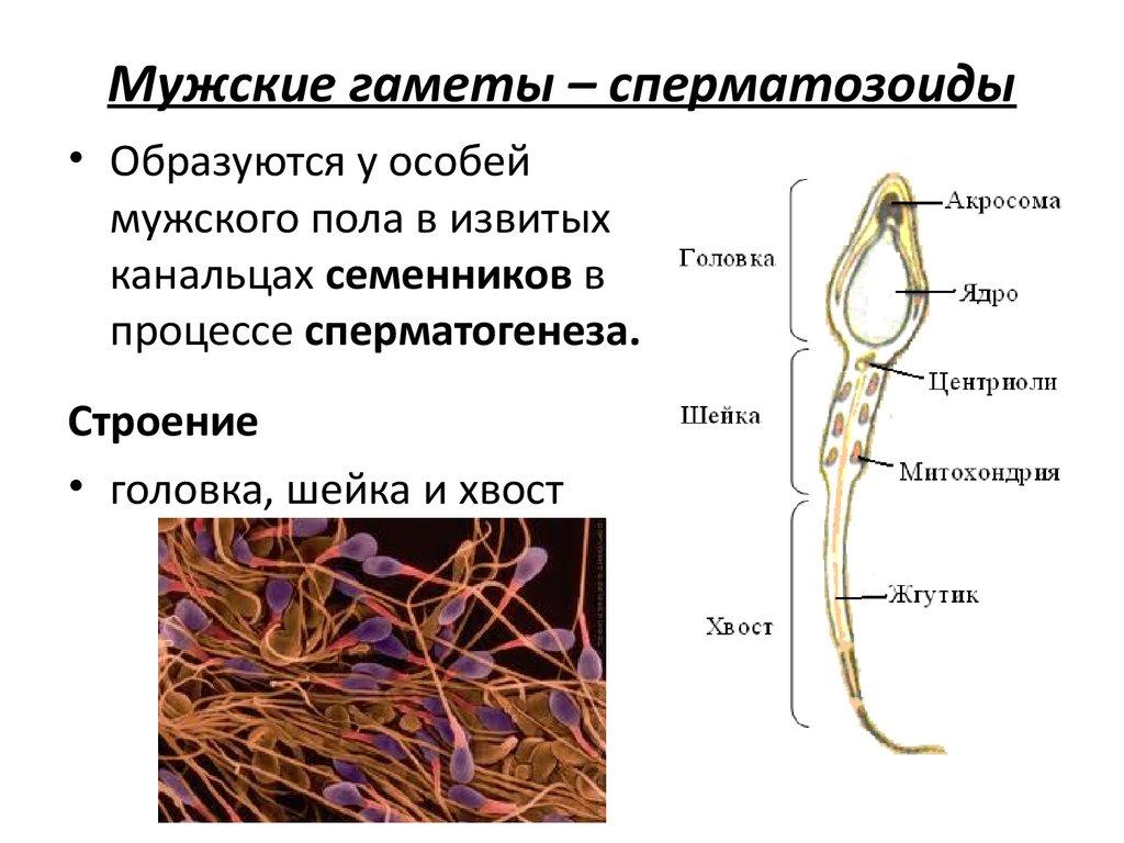 kak-proishodit-obrazovanie-spermatozoidov