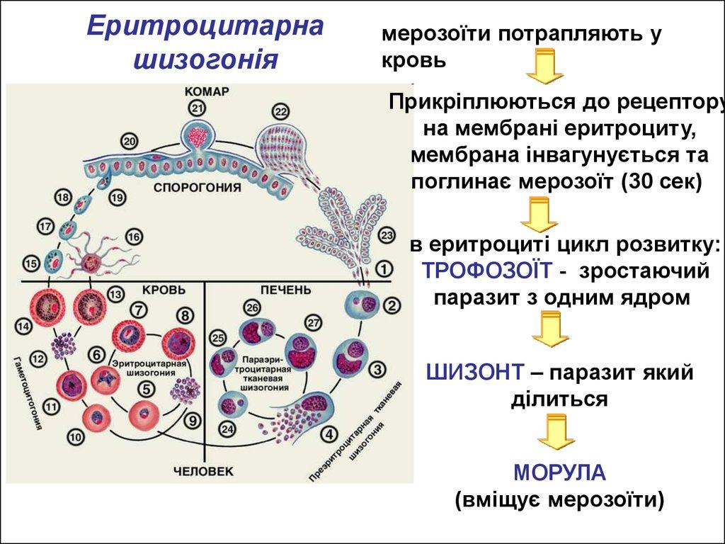 паразиты в крови человека