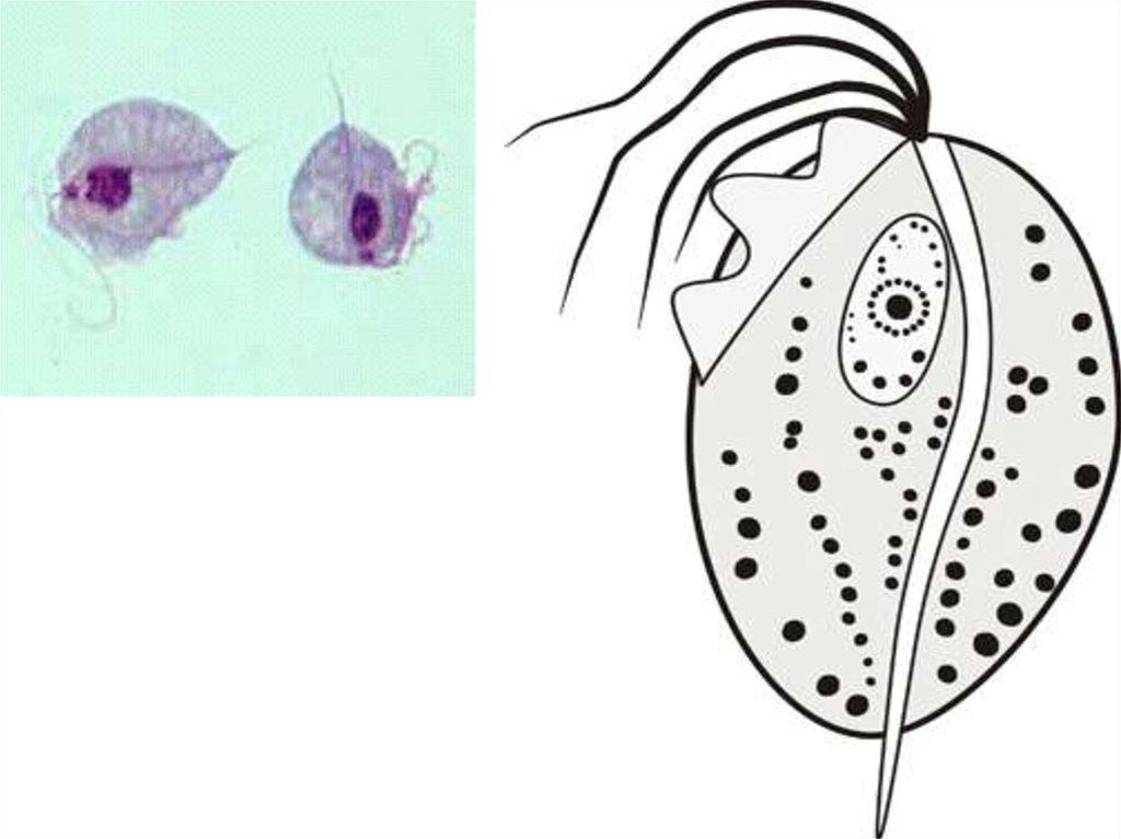 Микроорганизмы  Википедия