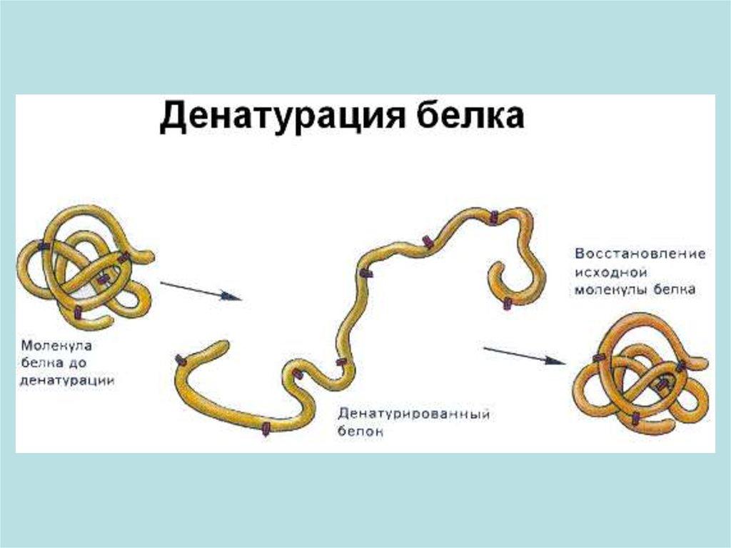 Рост и размножение бактерий. Фазы размножения.